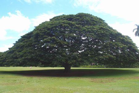 モアナルア・ガーデンの「この木なんの木 気になる木」